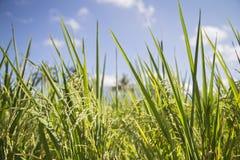 Giacimento del riso in Indonesia Immagini Stock Libere da Diritti