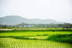 Giacimento del riso mentre piovendo a Nan, Tailandia Fotografia Stock