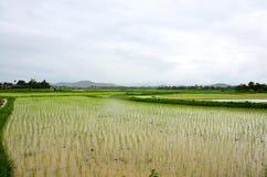 Giacimento del riso mentre piovendo a Nan, Tailandia Immagine Stock