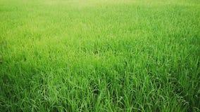 Giacimento del riso nel delta del Mekong Immagine Stock