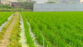 Giacimento del riso nel distretto di Taoyuan, Taiwan aprile 2016 Fotografia Stock Libera da Diritti