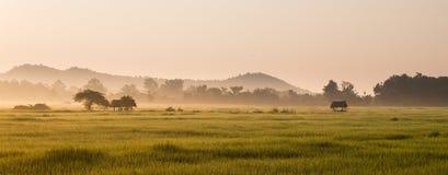 Giacimento del riso nel fondo di alba e di mattina fotografia stock libera da diritti