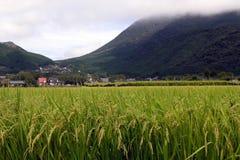Giacimento del riso nel Giappone Immagini Stock