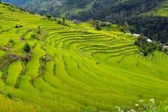 Giacimento del riso nel Nepal Fotografie Stock