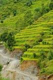 Giacimento del riso nel Nepal Fotografie Stock Libere da Diritti