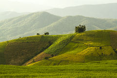 Giacimento del riso nel Nord della Tailandia Fotografia Stock Libera da Diritti