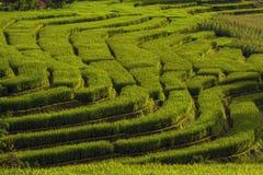 Giacimento del riso nel Nord della Tailandia Immagini Stock