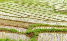 Giacimento del riso nel parco nazionale Chiang Mai di Doi Inthanon, giugno 2016 Immagine Stock Libera da Diritti