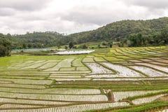 Giacimento del riso nel parco nazionale Chiang Mai di Doi Inthanon, giugno 2016 Fotografia Stock
