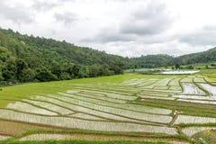 Giacimento del riso nel parco nazionale Chiang Mai di Doi Inthanon, giugno 2016 Immagini Stock Libere da Diritti