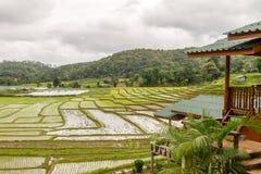 Giacimento del riso nel parco nazionale Chiang Mai di Doi Inthanon, giugno 2016 Immagine Stock