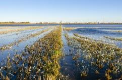Giacimento del riso nel tramonto Fotografia Stock Libera da Diritti