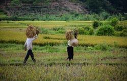 Giacimento del riso nel Vietnam del Nord Immagine Stock Libera da Diritti