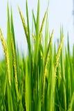 Giacimento del riso nell'agricoltura, a nord della Tailandia Fotografie Stock