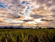 Giacimento del riso nella sera fotografie stock libere da diritti