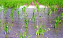 Giacimento del riso nella sorgente fotografia stock