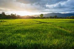 Giacimento del riso nella stagione delle pioggie Fotografia Stock Libera da Diritti