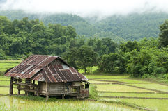 Giacimento del riso nello stadio precoce e capanna a priorità bassa Immagine Stock