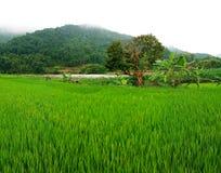 Giacimento del riso, PA del Sa, Vietnam Fotografie Stock Libere da Diritti