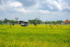 Giacimento del riso, palme e case, paesaggio rurale, isola di Bali, Indonesia fotografie stock libere da diritti