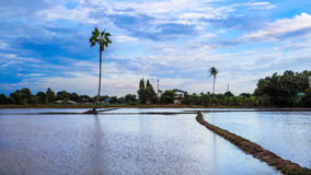 Giacimento del riso in pieno con acqua al cielo blu di tramonto Fotografie Stock