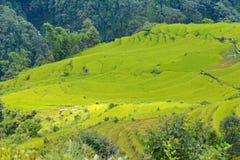 Giacimento del riso pronto per la raccolta nel Nepal Fotografie Stock