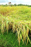 Giacimento del riso pronto per la raccolta, vista scenica del bali Fotografia Stock