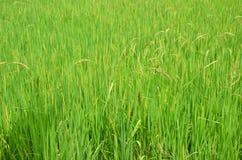 Giacimento del riso, risone in Tailandia Fotografie Stock
