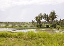 Giacimento del riso su Bali Fotografia Stock Libera da Diritti