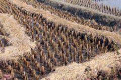 Giacimento del riso subito dopo raccogliere Fotografia Stock
