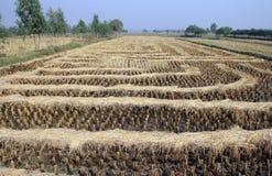 Giacimento del riso subito dopo raccogliere Immagini Stock Libere da Diritti