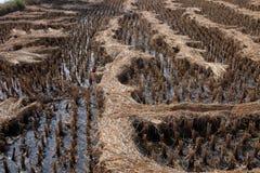Giacimento del riso subito dopo raccogliere Immagine Stock