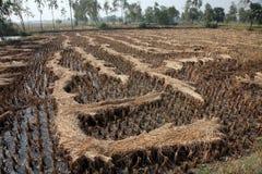 Giacimento del riso subito dopo raccogliere Fotografia Stock Libera da Diritti
