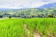 Giacimento del riso sul picco di montagna di Phu Tabberk in Phetchabun, Tailandia Immagine Stock Libera da Diritti
