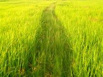 Giacimento del riso in Tailandia 1 Fotografie Stock