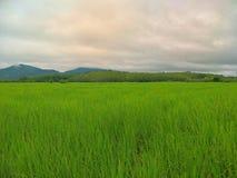 Giacimento del riso in Tailandia fotografie stock libere da diritti