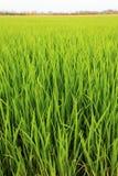 Giacimento del riso - Tailandia Fotografia Stock Libera da Diritti