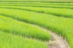 Giacimento del riso in Tailandia Fotografia Stock