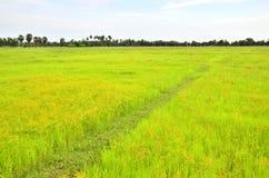 Giacimento del riso, Tailandia Fotografia Stock