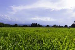 Giacimento del riso in Tailandia Immagine Stock