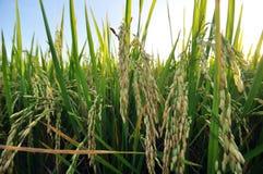 Giacimento del riso in Tailandia Fotografie Stock