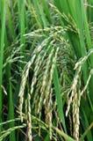 Giacimento del riso in Tailandia Immagini Stock