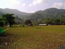 Giacimento del riso in Tailandia Fotografia Stock Libera da Diritti
