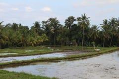 Giacimento del riso in Ubud fotografia stock