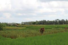 Giacimento del riso in Ubud immagini stock libere da diritti