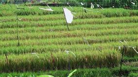 Giacimento del riso in un villaggio stock footage