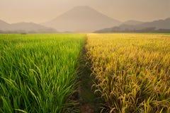 Giacimento del riso vicino al vulcano Fotografie Stock