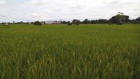 Giacimento del riso vicino alla casa Fotografia Stock