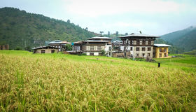 Giacimento del risone al villaggio di Sopsokha nel Bhutan Immagine Stock Libera da Diritti