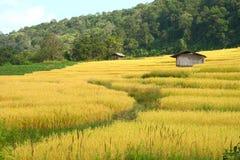 Giacimento del risone con la capanna del coltivatore Fotografia Stock